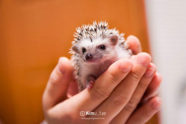 可爱的小刺猬宝宝