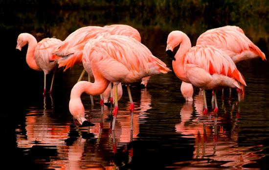 种最罕见粉色动物