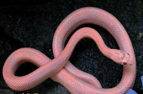最罕见粉色动物