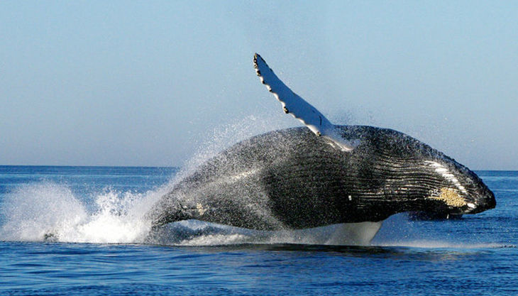 加拿大一鲸鱼受困获救 同伴戏水表演 感谢 救援者
